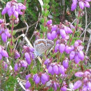 Female Silver Studded Blue Butterfly 4