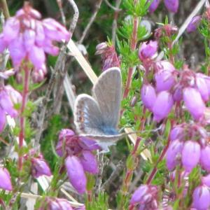 Female Silver Studded Blue Butterfly3