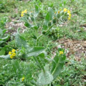 Fiddleneck near the concrete patch3