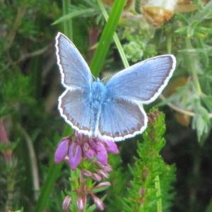 Male Silver Studded Blue Butterfly4