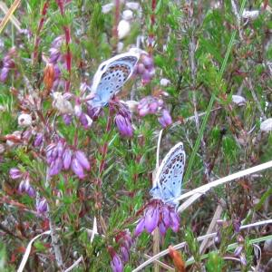 Newly hatched Silver Studded Blue Butterflies4