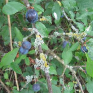 Sloes and Lichen