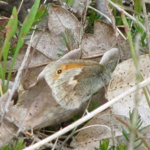 Small Heath Butterfly well camouflaged4