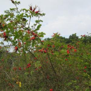 Sweet Briarb Rose hips