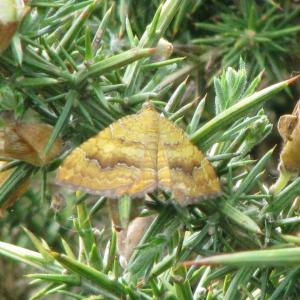 Yellow Shell Moth4